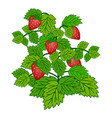 ripe garden strawberry bush isolated on white vector image