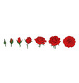 hand drawn realistic set red rose blooming from vector image