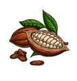 cocoa superfood drawing set organic vector image vector image