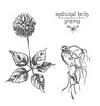 realistic botanical ink sketch of ginseng root vector image