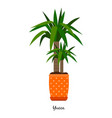 yucca plant in pot vector image