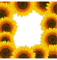 orange yellow sunflower border isolated on white vector image vector image