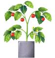 A tomato plant vector image vector image