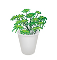 Evergreen Plant in A Flower Pot vector image vector image