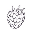 hand drawn doodle blackberry or raspberry vector image