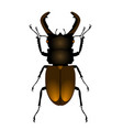 common stag beetle top view on white background vector image vector image