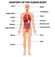 anatomy human body information infographic vector image vector image
