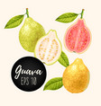 set of guava fruits vector image