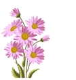 Beautiful pink daisies vector image vector image