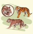 beautiful tiger drawing vector image