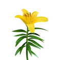 colorful naturalistic blossoming yellow lily vector image vector image