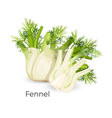 fennel roots bulb-like stem base used as vector image vector image
