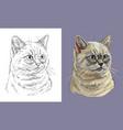 portrait fluffy british cat vector image