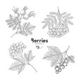 viburnum rowan rosehip currant berries vector image vector image