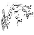 crawfish leg vintage vector image vector image