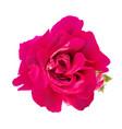 dark pink rose flower design element vector image vector image