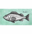 ink sketch of rockfish vector image vector image