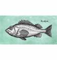 ink sketch rockfish vector image vector image