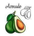 avocado drawing icon vector image