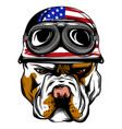 face of bulldog biker with helmet vector image vector image