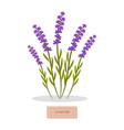 lavender herbs collection vector image vector image