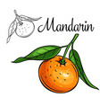 mandarin drawing icon vector image
