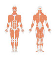 the human muscular system vector image