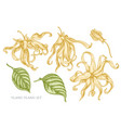 collection of hand drawn pastel ylang-ylang vector image vector image