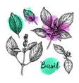 basil ink sketch vector image