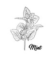 Green mint branch tea herb theme isolated