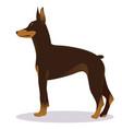 doberman pinscher dog brown vector image vector image