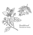 Ink sandalwood hand drawn sketch vector image vector image