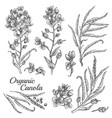 engraved organic canola vector image