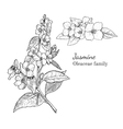 Ink jasmine hand drawn sketch vector image vector image