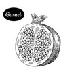 hand drawn sketch style fresh garnet vector image