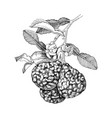 hand drawn bergamot blooming branch with ripe vector image vector image