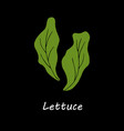 lettuce on black background vector image