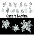 plant cineraria maritima set vector image vector image