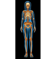 Human skeletal system vector image vector image