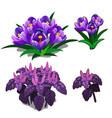 beautiful purple tulips and purple basil vector image vector image