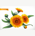 calendula 3d realistic icon vector image vector image