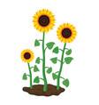 cartoon garden sunflowers grow in soil vector image vector image