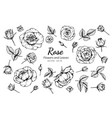 collection set of rose flower and leaves drawing vector image vector image