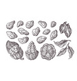 cocoa set botanical sketch vector image