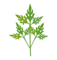 coriander fresh vegetable vector image vector image