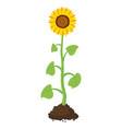 cartoon garden sunflower grow in soil vector image vector image