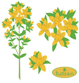 tutsan medicinal plant vektor vector image vector image