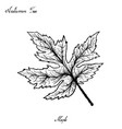 hand drawn of autumn maple leaves on white vector image