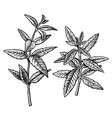 hand drawn verbena leaves and twigs vintage vector image vector image