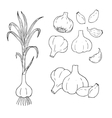 Hand drawn set of garlic contour vector image vector image